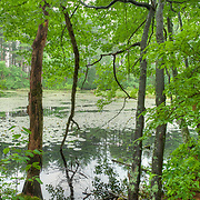 A lilly-covered pond in early summer.
