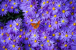 Comma butterfly on Aster amellus 'Veilchenkönigin' AGM - 'Violet Queen'. Polygonia c-album