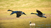 Canadian Geese in Flight at Sourland Mountain Nature Preserve in New Jersey. Image taken with a Nikon D2xs and 80-400 mm VR lens (ISO 400, 200 mm, f/5.3, 1/640 sec).