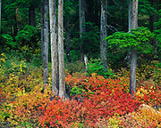 Autumn colors of blueberries on the floor of a western hemlock forest, Salmon River drainage near Stewart, British Columbia, Canada.