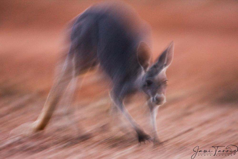 A female red kangaroo  (Macropus rufus)  hopping on a ridge in warm morning light,  motion blur, Sturt Stony Desert,  Australia