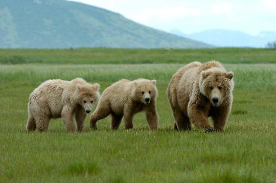 Alaskan Brown Bear, (Ursus middendorffi) Mother with two cubs. Katmai National Park. Alaska.