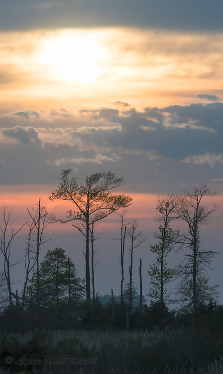 Tree silhouettes, clouds and sunset.  Bombay Hook NWR, Delaware