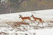 Pronghorn Buck and Doe Running in Winter Habitat