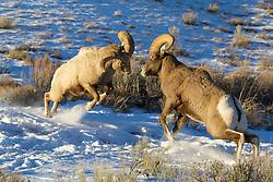 Fighting Bighorn Rams, Miller Butte, National Elk Refuge, Jackson Hole, Wyoming