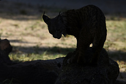 July 19, 2017 - Madrid, Madrid, Spain - The female Iberian lynx Jazmín pictured in her enclosure at Madrid zoo. (Credit Image: © Jorge Sanz/Pacific Press via ZUMA Wire)