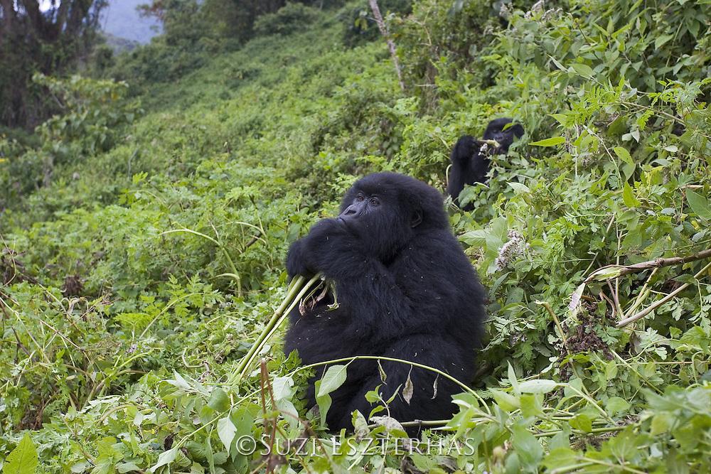 Mountain Gorilla<br /> Gorilla gorilla beringei<br /> Sub-adult feeding on vegetation on mountain slope<br /> Parc National des Volcans, Rwanda