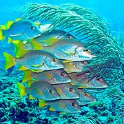 Schoolmaster inhabit reefs in Tropical West Atlantic; picture taken San Salvador, Bahamas.