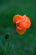 A single red poppy in a sea of green.