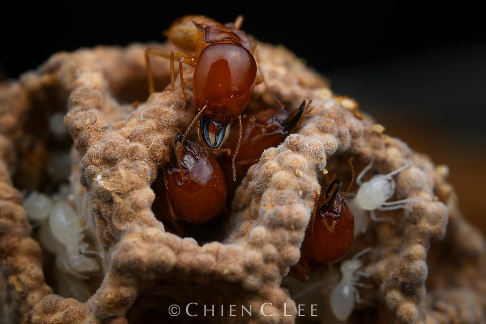 In one of the most ancient instances of monoculture, Macrotermes termites cultivate gardens of Termitomyces fungus as a form of external digestion, enabling the break down plant lignin for their consumption. Here, soldiers and nymphs of M. gilvus attend their fungus comb, found deep within their subterranean nest. Sarawak, Malaysia (Borneo).