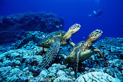green sea turtles, Chelonia mydas, resting on bottom, with diver in background, Turtle Pinnacle, Honokohau, North Kona, Hawaii, United States ( Central Pacific Ocean )