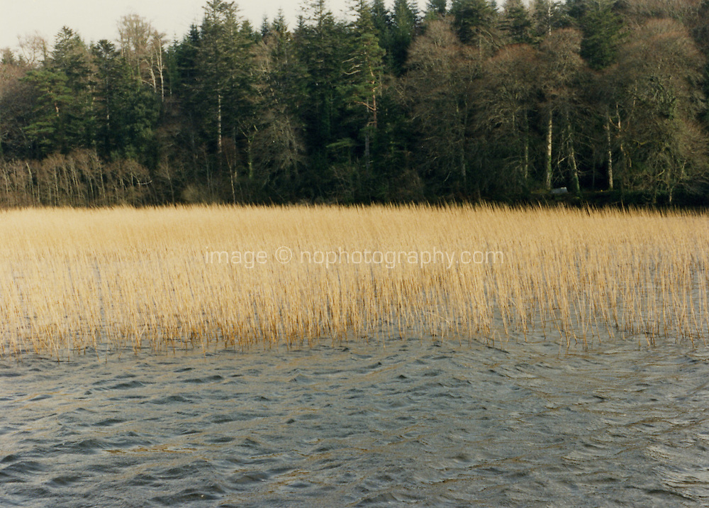 Lake rushes