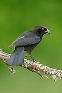 Bronzed Cowbird - Molothrus aeneus - Adult male