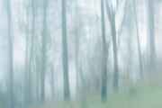 Forest Fog, Sierra Nevada Foothills, California