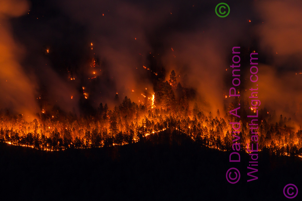 Thompson Fire backburn shows a well defined boundary where it was ignited, burning in ponderosa pine forest on the west side of Redondo Peak on the night of June 1, 2013. Valles Caldera National Preserve, New Mexico, © 2013 David A. Ponton