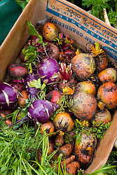 Mixed harvested root vegetables in a cardboard box including beetroot, carrots and kohlrabi