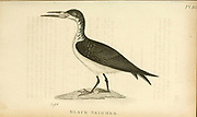 black skimmer (Rynchops niger) from the 1825 volume (Aves) of 'General Zoology or Systematic Natural History' by British naturalist George Shaw (1751-1813). Shaw wrote the text (in English and Latin). He was a medical doctor, a Fellow of the Royal Society, co-founder of the Linnean Society and a zoologist at the British Museum. Engraved by Mrs. Griffith