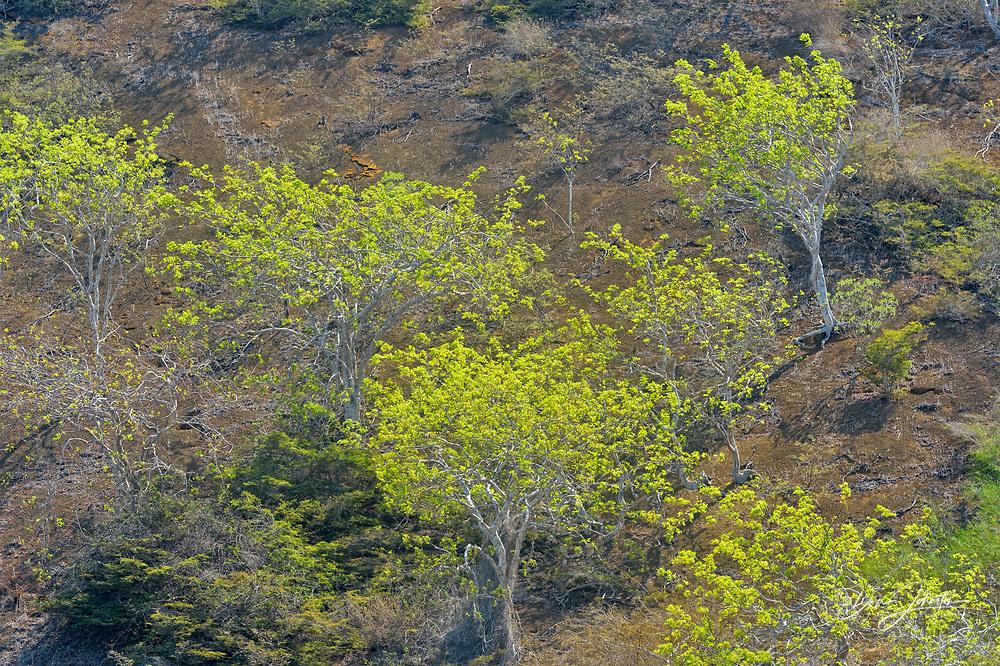 Palo Santo trees with fresh foliage on Floreana's slopes, Galapagos Islands National Park, Floreana Island, Ecuador