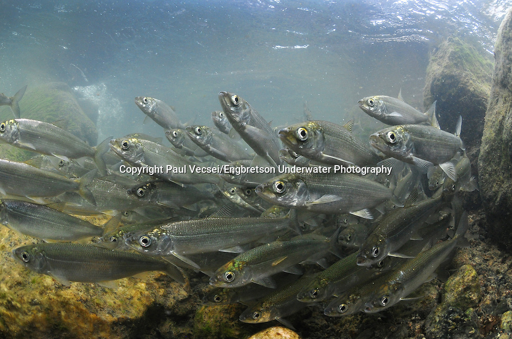 Cisco<br /> <br /> Paul Vecsei/Engbretson Underwater Photography