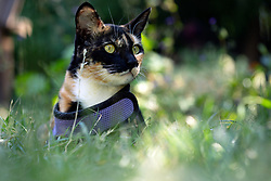 Zelda the cat wanders the back yard of her home in Oakland, Calif., Monday, June 8, 2020. (Photo by D. Ross Cameron)