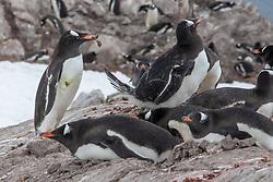 Gentoo Penguins Building Rock Nest In Rookery, Neko Harbor, Antarctica