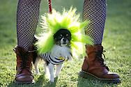 31st October 2009. Long Beach, California. The Haute Dog Howl'oween Parade in Long Beach. Pictured is Zeus the long coat chihuahua dressed as beetlejuice's dog. PHOTO © JOHN CHAPPLE / www.chapple.biz.john@chapple.biz  (001) 310 570 9100.