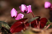 Round-Leaved Cyclamen (Cyclamen coum), Photographed in Israel in February
