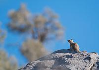 California (Beechey) ground squirrel, Otospermophilus beecheyi. Hunter Mountain, in the Cottonwood Mountains of Death Valley National Park, California