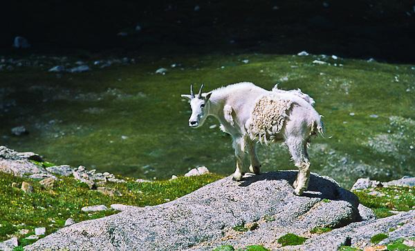 Mountain goats (Oreamnos americanus) Mountain goats inhabit some of the most inhospitable areas on the alpine tundra.  Mount Evans, Colorado.