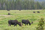 Shira's bull moose during summer in Wyoming
