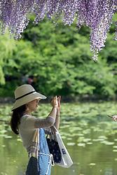 Japanese tourist taking in the sights of Tsurugaoka Hachimangū Shrine in Kamakura Japan