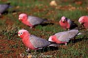galahs or rose-breasted cockatoos, Eolophus roseicapillus ( Cacatua roseicapilla ), Western Australia,