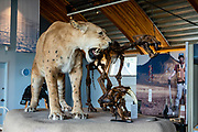 The American Scimitar Cat (Homotherium serum) lived in the Yukon and Beringia 80,000–20,000 years ago, and other areas on earth from 4 million–12,000 years ago. (The Scimitar Cat's fangs, or maxillary canine teeth, are shorter than those of the head shown below of a Sabre-toothed Cat, a close relative which has never been found in Beringia.) Yukon Beringia Interpretive Centre, in Whitehorse, capital and largest city of the Yukon, Canada. During the ice ages, Beringia's climate alternated between warm interglacial and cold glacial periods. During glacial periods, sea levels dropped 120 meters, exposing a land bridge that was up to 1000 kilometers (620 miles) wide. Beringia, like most of Siberia and all of North and Northeast China, was a grassland steppe. Fossils found on both sides of the Bering Land Bridge show that since the time of the dinosaurs, it was a major route for the exchange of plants and animals between Asia and North America. Swedish botanist Eric Hultén coined the term Beringia in 1937. Beringia is the land and ocean area bounded on the west by the Lena River in Russia; on the east by the Mackenzie River in Canada; on the north by 72 degrees north latitude in the Chukchi Sea; and on the south by the tip of the Kamchatka Peninsula. It includes the Chukchi Sea, the Bering Sea, the Bering Strait, the Chukchi and Kamchatka Peninsulas in Russia plus Alaska in the United States.