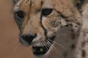 Cheetah<br />Acinonyx jubatus<br />Okavango Delta, BOTSWANA.  Africa