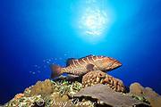 tiger grouper,<br /> Mycteroperca tigris , <br /> Andros Island, Bahamas ( Western Atlantic Ocean )