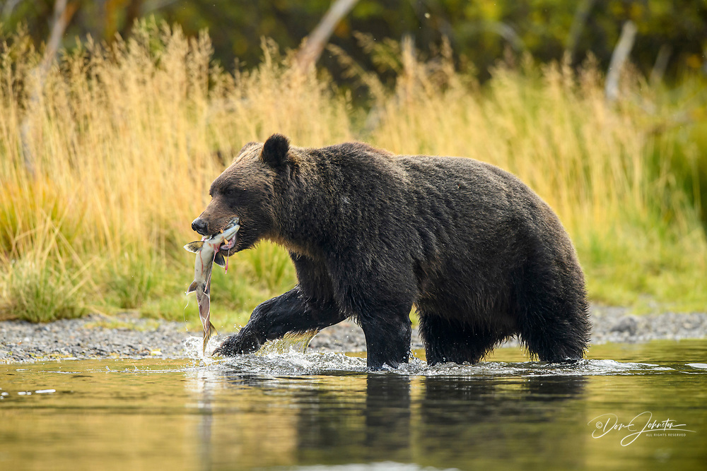 Grizzly bear (Ursus arctos)- Mother bear with spawning sockeye salmon retrieved from the Chilko River, Chilcotin Wilderness, BC Interior, Canada, Chilcotin Wilderness, BC Interior, Canada