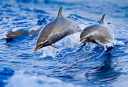 pantropical spotted dolphin, Stenella attenuata, jumping out of boat wake, Kona Coast, Big Island, Hawaii, USA, Pacific Ocean