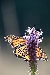 Monarch butterfly on prairie blazing star on Blackland Prairie, Mary Talbot Prairie, owned by Native Prairies Association fo Texas (NPAT), Texarkana, Texas, Farmersville, Texas, USA.