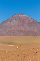 Vicuñas in Andean landscape, dotted with volcanos. Location: Between San Pedro de Atacama and El Tatio geysir field, in the Atacama desert, north Chile