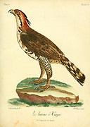 Autour huppé or Crested Goshawk (Accipiter trivirgatus) is a bird of prey from tropical Asia. It is related to other diurnal raptors such as eagles, buzzards (or buteos) and harriers, and thus placed in the family Accipitridae. from the Book Histoire naturelle des oiseaux d'Afrique [Natural History of birds of Africa] by Le Vaillant, François, 1753-1824; Publish in Paris by Chez J.J. Fuchs, libraire .1799