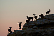 Alpine ibex silhouetted on a cliff at dusk