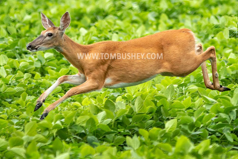 A white-tailed deer in a field of corn in the Town of Wawayanda, N.Y.,  on July 16, 2021.
