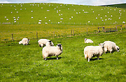 Flock of sheep grazing on calcareous grassland of chalk downland on Milk Hill, the Marlborough Downs, Wiltshire, England