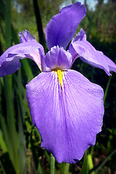 20 April 2014. Barataria Preserve, Louisiana. <br /> An Iris 'Sinfonietta,' or Louisiana Iris at the Barataria Preserve. The distinctive blue iris is the state flower of Louisiana.<br /> Photo; Charlie Varley/varleypix.com