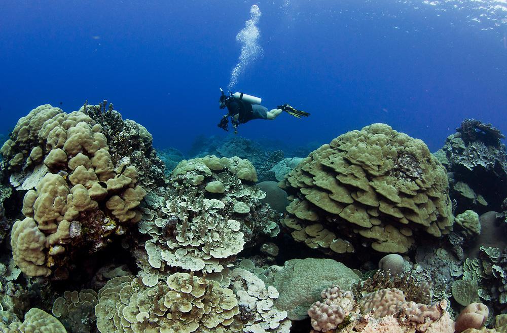 A scuba diver explores a hard coral garden off Kosrae, Micornesia.
