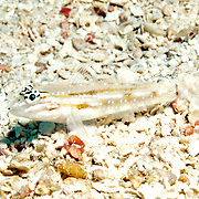 Patch-Reef Goby inhabit mid-range clearwater areas of sand near patch reefs in Tropical West Atlantic; picture taken Key Largo, FL .
