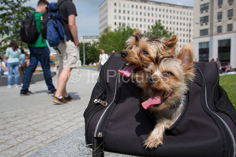 Two Yorkshire Terrier dogs (Gucci (left, 9 years old) and Louie (right, 4 years old) in their travel bag panting in the Summer heat. The South Bank is a significant arts and entertainment district, and home to an endless list of activities for Londoners, visitors and tourists alike.