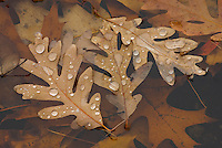 Water drops on oak leaves at the shoreline of Walden Pond.