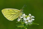 Green-veined White Butterfly (Pieris napi) resting on wild mustard flower, Oxfordshire, UK.