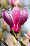 Magnolia  Soulangeana 'Picture', Denudata x Liliflora in The Valley Gardens, Surrey, UK